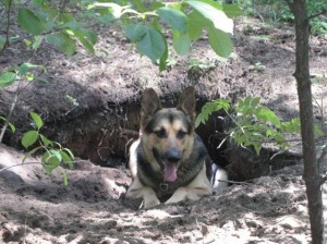 German Shepherd Dog ジャーマンシェパード Ares